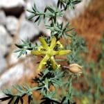 Asparagus-acutifolius