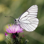 Black-veined-white