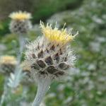 Centaurea-clementei