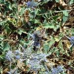 Eryngium-aquifolium
