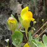 Linaria-platycalyx