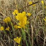 Narcissus-cavanillesii
