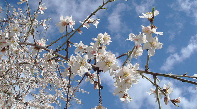 Almond blossom in the Sierra de Grazalema