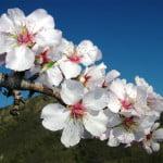 almond-flowers
