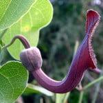 aristolochia-baetica