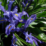 broad-leaved-iris