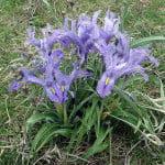 iris-planifolia