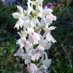 orchis-olbiensis