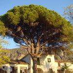 stone-pine