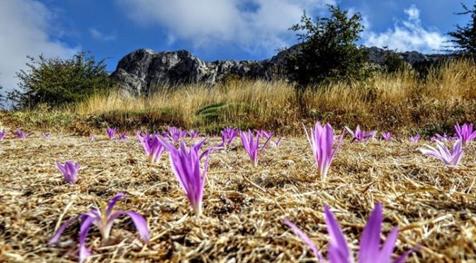 Wild crocus flowers on the Sierra Aitana. One of the delights of Autumn walking …