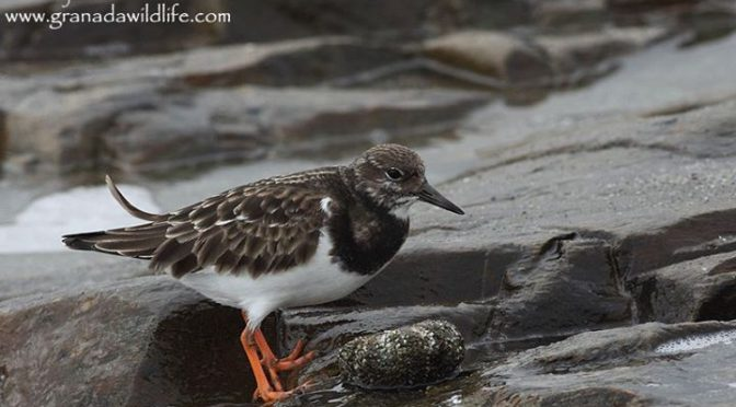 Several shots of a Ruddy Turnstone (Vuelvepiedras Común / Arenaria interpres) ea…