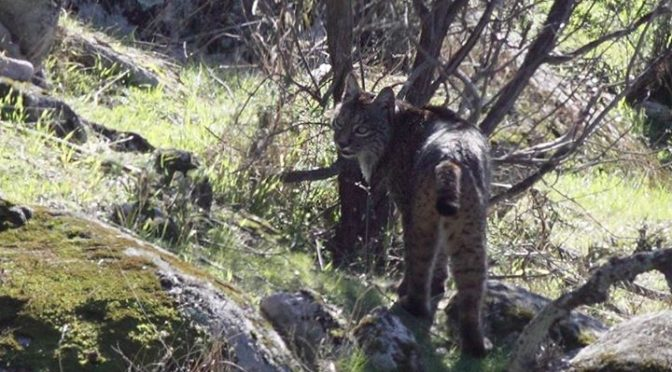 Iberian Lynx seen back on Monday (shot 1 and 2) and Tuesday (shot 3, 4 and 5) in…