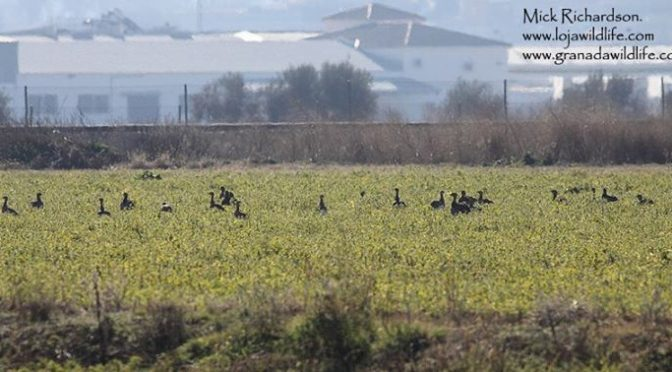 Some of the 63 Little Bustards seen today on the fields North of Huétor Tajar, G…