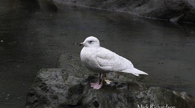 Iceland Gull (Larus glaucoides) on the Ría del Nervión, Bilbao (Vizcaya) (Basque…