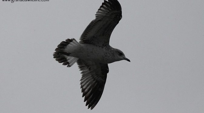 A Common / Mew Gull seen today in the port of Ondarroa with Local birder Juan An…