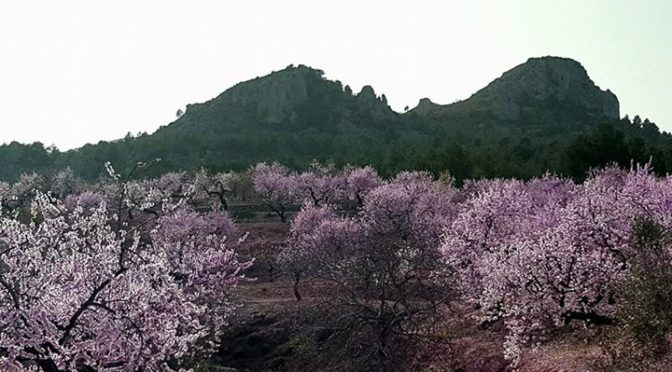 More almond blossom . This time in the Guadalest valley today just above the vil…
