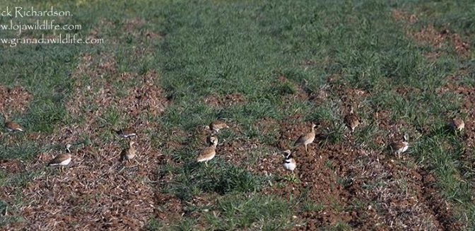 Still got a few Little Bustards on the local patch including a few nice males wh…