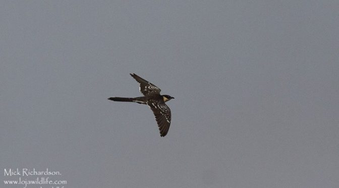 Yesterday we also had at least 8 Great-spotted Cuckoo's on the localish patch at…