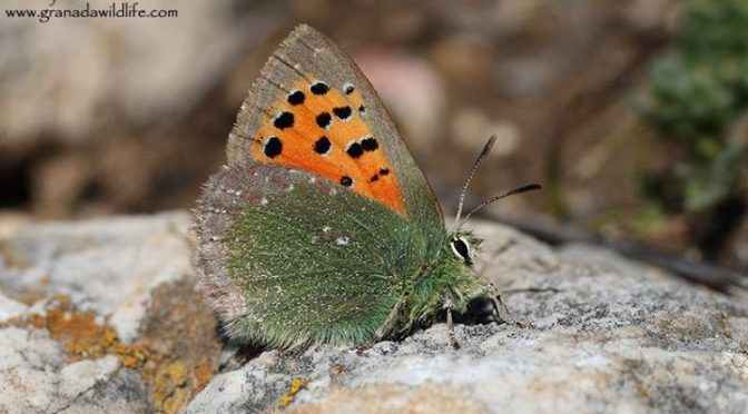 Today Jayne found this stunning Provence Hairstreak (Cardenillo / Tomares ballus…