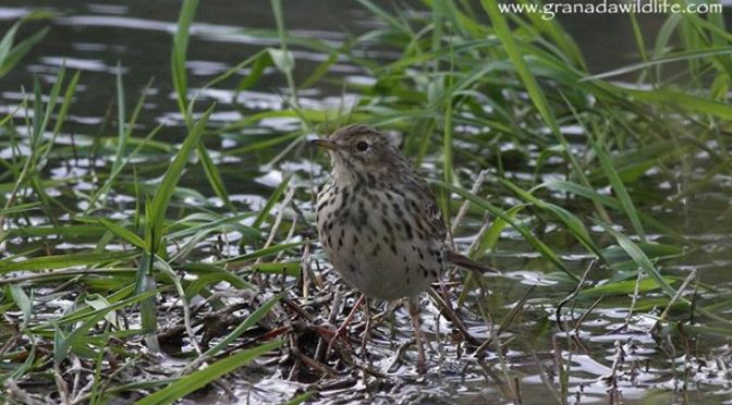 A rather washed out looking Meadow Pipit on the Rio Vilano, Huétor Fields, Grana…