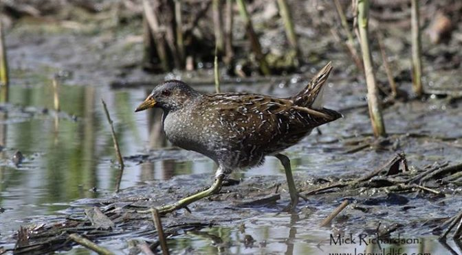 One or possibly both Spotted Crakes (Polluela Pintoja / Porzana porzana) who can…