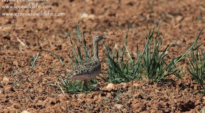 A stunning looking female Little Bustard seen on todays tour with Sue and Ian fr…