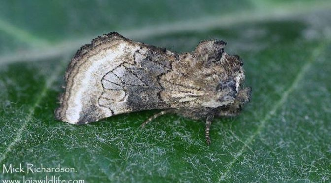 Cleonymia pectinicornis and Eupithecia oxycedrata, both new species in the garde…