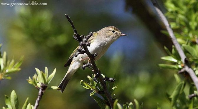 A couple of shots of a very noisy Bonelli's Warbler which was seen whilst Orchid…