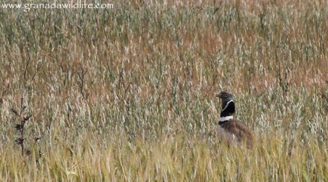 Little Bustard, Coal Tit and European Bee-eaters all seen today with Alexander a…