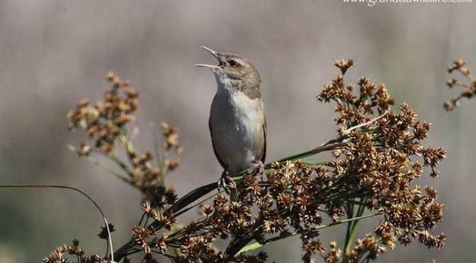 Here are some shots of Savi's Warbler and Bearded Tits seen today in the wetland…