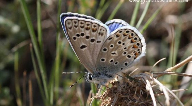 Some Butterflies seen during a few days up on the Sierra Nevada, Granada Provinc…