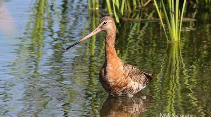 A fine looking Black-tailed Godwit seen to day at Charca Suarez after doing the …
