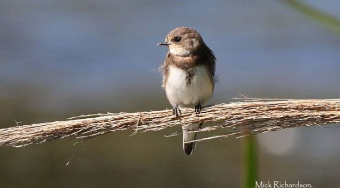 A Sand Martin and a Barn Swallow also at Charca Suarez, Granada Province this mo…