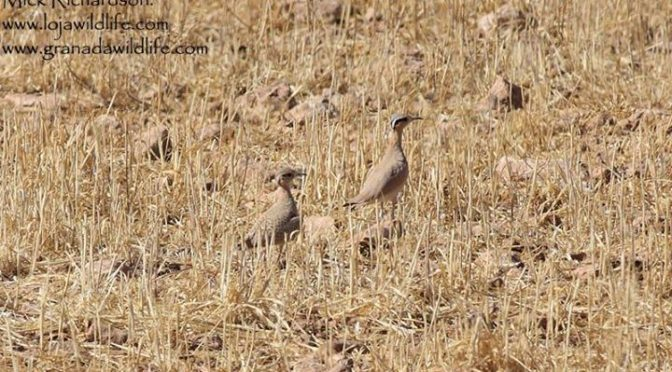 Some more shots of the Cream-coloured Coursers. Two pairs of these stunning bird…
