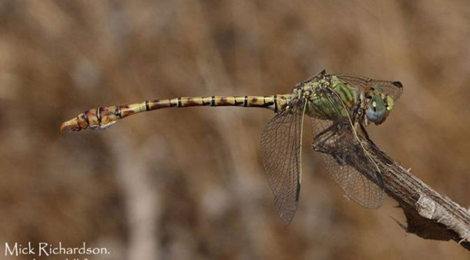 Our last day down in Cadiz Province was spent watching Raptors and Dragonflies i…