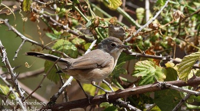 A Subalpine Warbler seen at San Pedro de Arlanza near Covarrubias in Burgos Prov…