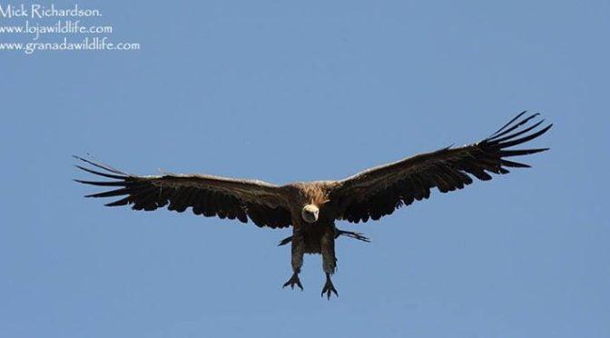 Griffon Vultures at La Yecla near Santo Domingo De Silos, Burgos Province.