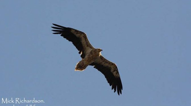 3 different Vulture species seen near Tarifa last weekend with John and Sharon H…