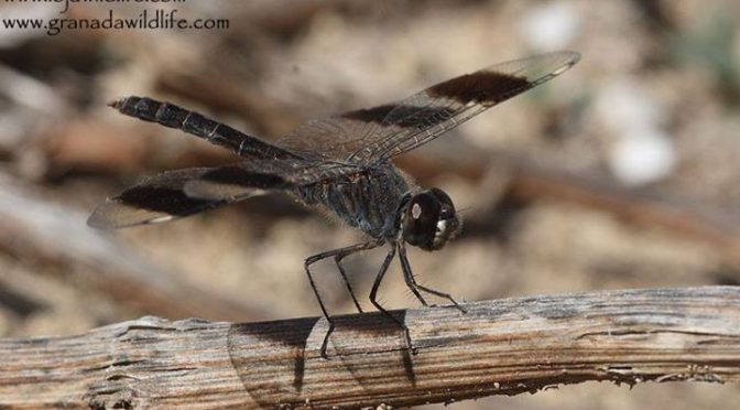 A male Banded Groundling (Brachythemis impartita) seen last week at La Janda Cad…
