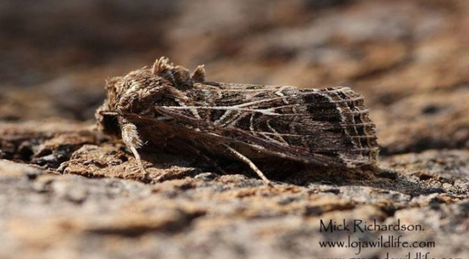 A new Moth species for the garden, Spodoptera littoralis (Mediterranean Brocade)…