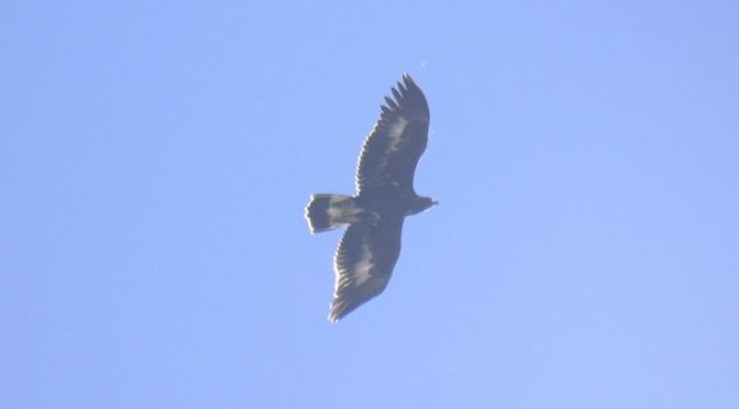 Fine photo of a golden eagle flying overhead on the Malla de Llop hike.