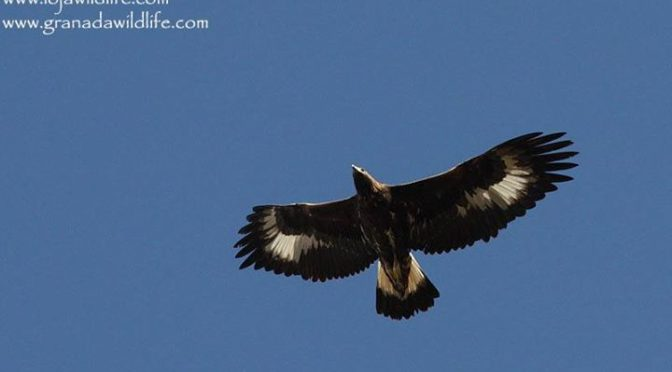An immature Golden Eagle which was hunting low over the garden this afternoon.