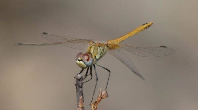 Dragonflies have huge eyes