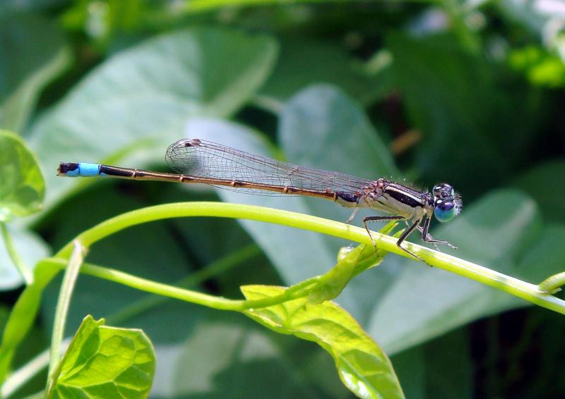 The Iberian blue tailed damselfly