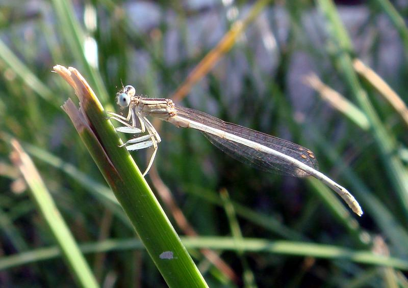 The tiny feather legged damselfly