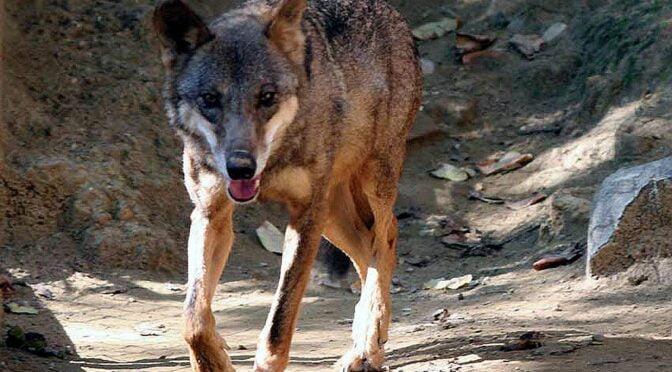 Iberian Wolf (Canis lupus signatus) Lobo Ibérico