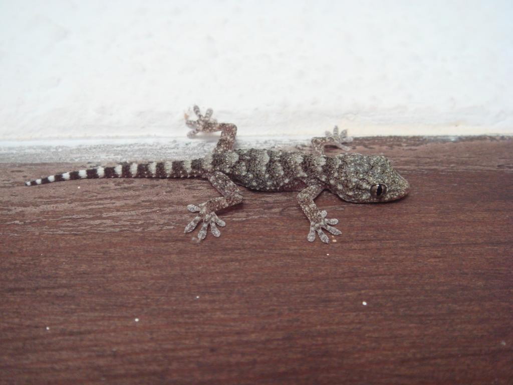 Baby Moorish gecko in Spain
