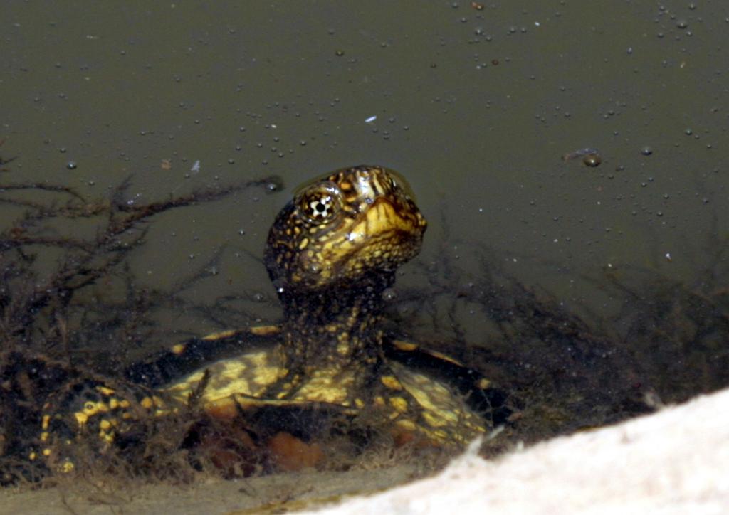 Spanish: Galápago europeo Scientific: Emys orbicularis English: European Pond Terrapin