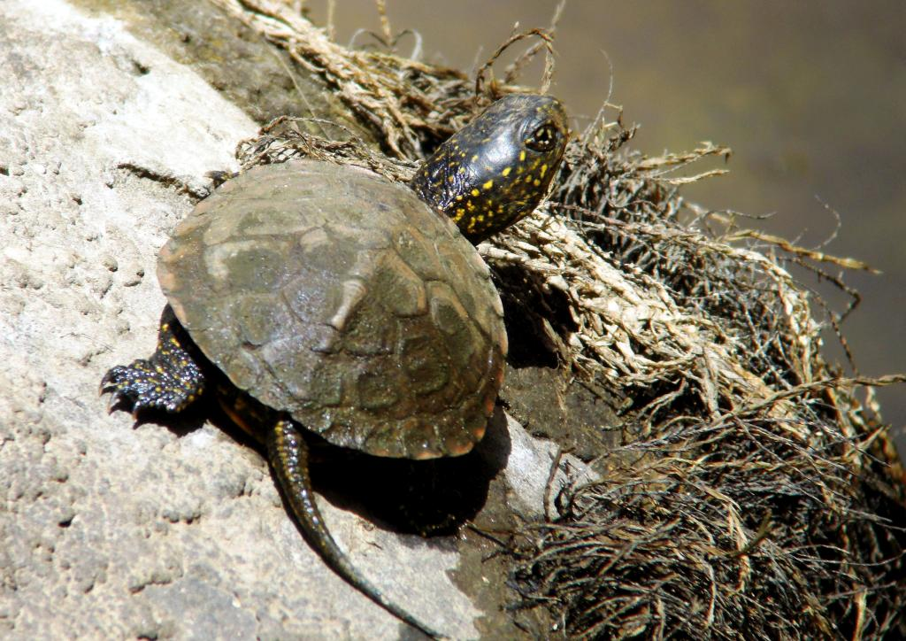 Spanish: Galápago europeo Scientific: Emys orbicularis English: European Pond Terrapin
