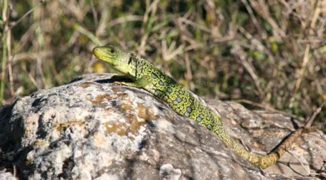 Finding and watching Reptiles and Amphibians in Spain